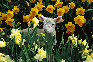 Domestic Sheep (Ovis aries) lamb among spring Daffodils (Narcissus sp), Canterbury, New Zealand  -  Colin Monteath/ Hedgehog House