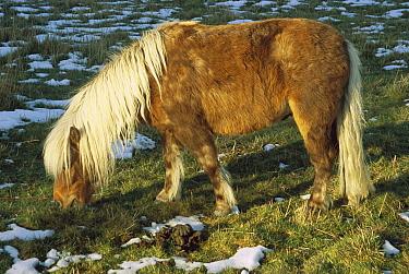 Shetland Pony (Equus caballus) grazing, Darfield, near Christchurch, South Island, New Zealand  -  Colin Monteath/ Hedgehog House