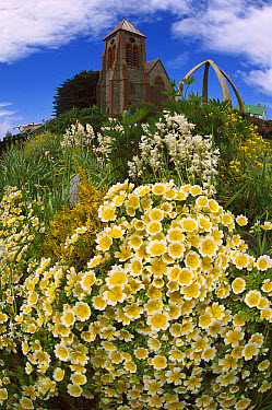 Summer flowers blooming on hillside below Christchurch Cathedral and Whale Rib Memorial on Main Street in Stanley, East Falkland Island, Falkland Islands  -  Colin Monteath/ Hedgehog House