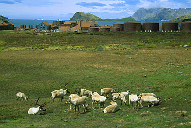 Caribou (Rangifer tarandus) herd grazing near derelict Stromness whaling station, introduced by Norwegians, South Georgia Island  -  Colin Monteath/ Hedgehog House