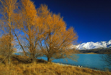 Lake Pukaki and Ben Chau Range with Larch trees changing to autumn colors near Mt Cook Station, New Zealand  -  Colin Monteath/ Hedgehog House