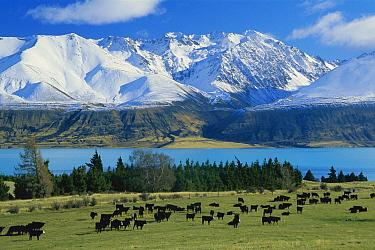 Domestic Cattle (Bos taurus), Aberdeen Angus breed, grazing near Lake Pukaki and the Ben Ohau Range, Tasman Downs Station, New Zealand  -  Colin Monteath/ Hedgehog House