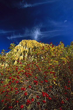 Hawthorn (Crataegus sp) berries and autumn colors near clay cliffs, near Omarama, New Zealand  -  Colin Monteath/ Hedgehog House