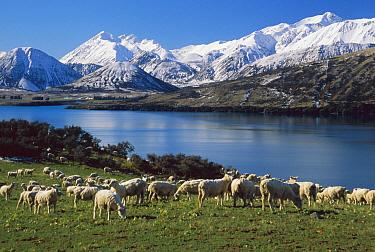 Domestic Sheep (Ovis aries) flock grazing near Lake Coleridge, winter, Canterbury, New Zealand  -  Colin Monteath/ Hedgehog House