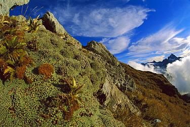 Vegetable Sheep (Raoulia sp) alpine plant, Hollyford Valley, Fjordland, New Zealand  -  Colin Monteath/ Hedgehog House