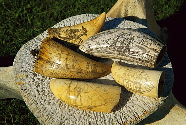 Sperm Whale (Physeter macrocephalus) teeth with Scrimshaw artwork sitting atop whale vertebrae, dates from 1840's whaling era, Fyffe Historic House, Kaikoura, New Zealand  -  Colin Monteath/ Hedgehog House