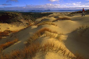 European Beachgrass (Ammophila arenaria) and Pingao Grass (Desmoschoenus spiralis) with hiker in Mason Bay Sand Dunes, Rakiura National Park, Stewart Island, New Zealand  -  Colin Monteath/ Hedgehog House