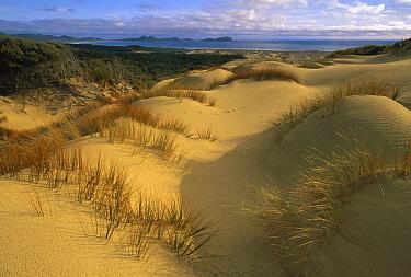 European Beachgrass (Ammophila arenaria) and Pingao Grass (Desmoschoenus spiralis), Mason Bay Sand Dunes, Rakiura National Park, Stewart Island, New Zealand  -  Colin Monteath/ Hedgehog House