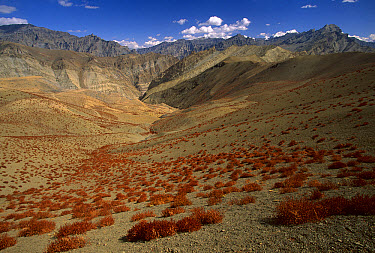 Desert showing dried alpine plants, autumn, Ladakh, Himalayas, northwest India  -  Colin Monteath/ Hedgehog House