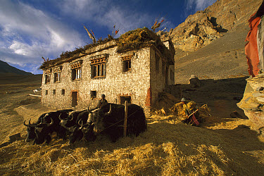 Yak (Bos grunniens mutus) group threshing barley during autumn harvest, Photoskar village, Ladakh, northwest India, Himalaya  -  Colin Monteath/ Hedgehog House