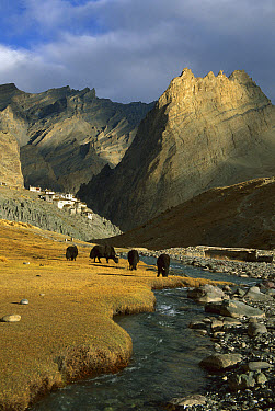 Yak (Bos grunniens mutus) group grazing in autumn, above Photoskar village, Ladakh, northwest India, Himalayas, Nepal  -  Colin Monteath/ Hedgehog House