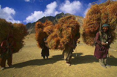 Women carrying dried plants for domestic goats and donkeys, near Lingshet Village, Ladakh, Himalayas, northwest India  -  Colin Monteath/ Hedgehog House