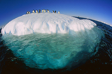 Adelie Penguin (Pygoscelis adeliae) group riding sculpted iceberg, Terre Adelie Land, east Antarctica  -  Colin Monteath/ Hedgehog House