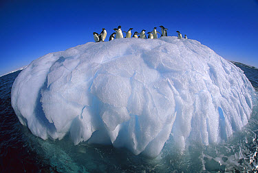Adelie Penguin (Pygoscelis adeliae) group riding sculpted iceberg, Terre Adelie Land, east Antarctica  -  Colin Monteath/ Hedgehog House