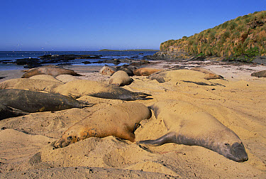 Northern Elephant Seal (Mirounga angustirostris) cool off by flipping sand over themselves, Sea Lion Island, Falkland Islands  -  Colin Monteath/ Hedgehog House
