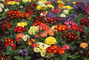 Primrose (Primula vulgaris) flowers in ornamental garden, Christchurch, New Zealand  -  Colin Monteath/ Hedgehog House