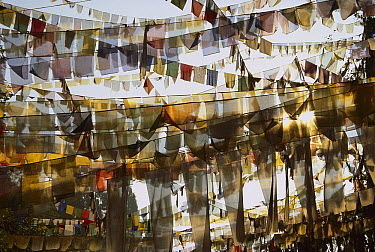 Prayer flags at dawn, Ganesh Top, Gangtok, Sikkim Himalaya, India  -  Colin Monteath/ Hedgehog House