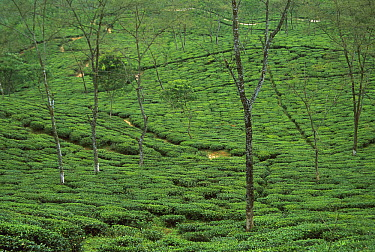 Tea plantation bushes contour along hillside, Darjeeling, India  -  Colin Monteath/ Hedgehog House