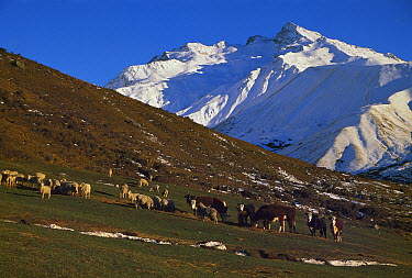 Domestic Sheep (Ovis aries) and cattle feed on hay during the winter season, near Mt. Cook, South Island, New Zealand  -  Colin Monteath/ Hedgehog House