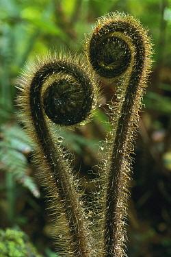 Fern fronds unfurling, Depot Creek, Haast Valley, Mt. Aspiring National Park, New Zealand  -  Harley Betts/ Hedgehog House