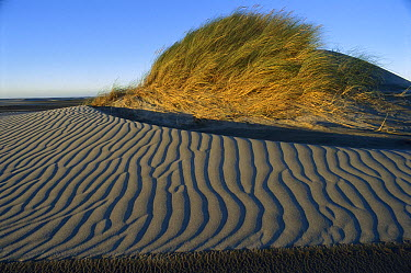 European Beachgrass (Ammophila arenaria) topped dune with rippled sand, Farewell Spit, Golden Bay, New Zealand  -  Harley Betts/ Hedgehog House
