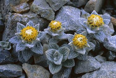 Aster (Haastia sinclairii) growing amid rocks on a scree slope, Arthurs Pass National Park, New Zealand  -  Nick Groves/ Hedgehog House