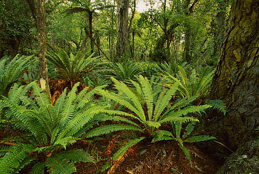 Crown Fern (Blechnum discolor) in Rimu Forest, between Mason and Doughboy Bays, Stewart Island, New Zealand  -  Nick Groves/ Hedgehog House