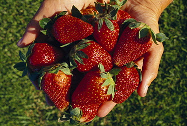 Strawberry (Fragaria x ananassa) collection in hands, cultivated worldwide  -  Ingrid Visser/ Hedgehog House