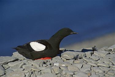 Black Guillemot (Cepphus grylle) resting on rocks, Arctic  -  Ingrid Visser/ Hedgehog House