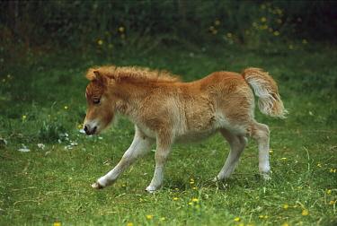 Domestic Horse (Equus caballus), shetland pony foal running, New Zealand  -  Ingrid Visser/ Hedgehog House