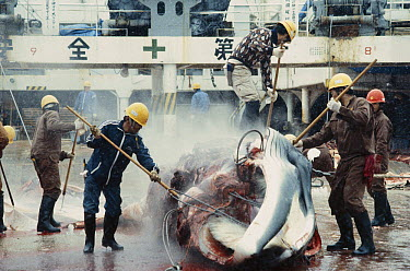 Antarctic Minke Whale (Balaenoptera bonaerensis) taken apart by Japanese whalers, Ross Sea, Antarctica  -  Paul Ensor/ Hedgehog House