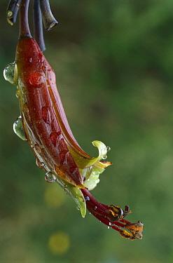New Zealand Flax (Phormium sp) flower, New Zealand  -  Grant Stirling/ Hedgehog House