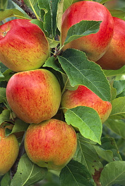 Cultivated Apple (Malus domestica) cluster, Braeburn type, Nelson, New Zealand  -  Grant Stirling/ Hedgehog House
