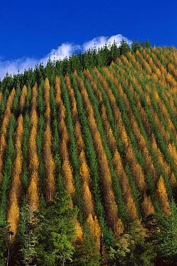Pine (Pinus sp) and Larch (Larix sp) plantation, Golden Downs Forest, New Zealand  -  Lynda Harper/ Hedgehog House