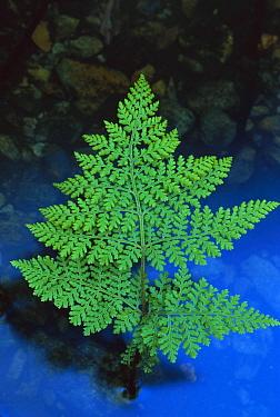 Beadfern (Hypolepis millefolium), New Zealand  -  Lynda Harper/ Hedgehog House