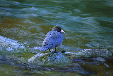 Blue Duck (Hymenolaimus malacorhynchos) standing on rock in stream, endangered, Kahurangi National Park, New Zealand  -  Steve Baker/ Hedgehog House