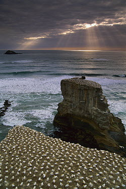 Australian Gannet (Morus serrator) nesting colony, Muriwai Beach, New Zealand  -  Jim Harding/ Hedgehog House