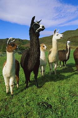 Llama (Lama glama) group near Takaka, South Island, New Zealand  -  Jim Harding/ Hedgehog House