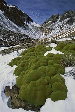 Yareta (Azorella compacta), alpine cushion plants below Cerani Pass, Colca Canyon, Peru  -  Grant Dixon/ Hedgehog House