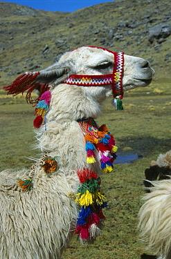 Llama (Lama glama) with traditional decorations, Peru  -  Grant Dixon/ Hedgehog House