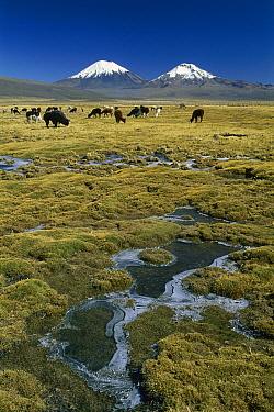 Llama (Lama glama) herd grazing with Parinacota and Pomerape volcanoes in the background, Peru  -  Grant Dixon/ Hedgehog House