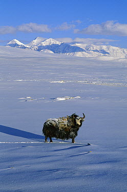 Yak (Bos grunniens mutus) in spring snow, Tibet, China  -  Grant Dixon/ Hedgehog House