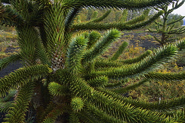 Monkey Puzzle Tree (Araucaria araucana) branch detail, Conguillio National Park, Chile  -  Grant Dixon/ Hedgehog House