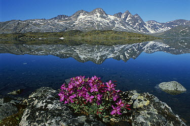 Dwarf Fireweed (Epilobium latifolium) with mountains in the background, Ammassalik, Greenland  -  Grant Dixon/ Hedgehog House