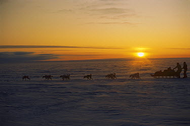 Siberian Husky (Canis familiaris) group running in sled team in polar midnight light, Greenland  -  Colin Monteath/ Hedgehog House