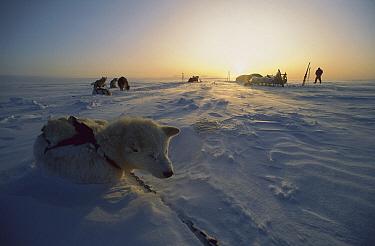 Siberian Husky (Canis familiaris) resting in polar midnight light, Greenland  -  Colin Monteath/ Hedgehog House