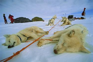 Siberian Husky (Canis familiaris) group resting in polar midnight light, Greenland  -  Colin Monteath/ Hedgehog House