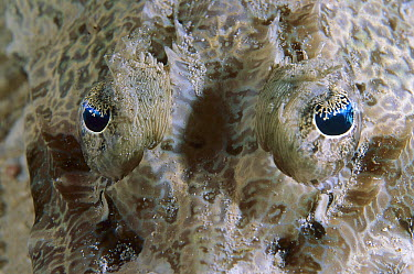 Crocodile Flathead (Cociella crocodila) fish eyes, Russell Islands, Solomon Islands  -  Ross and Diane Armstrong/ Hedgeh