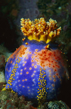 Sea Apple (Pseudocolochirus sp) sea cucumber attached to coral, Komodo Island, Indonesia  -  Ross and Diane Armstrong/ Hedgeh