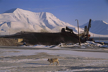 Caribou (Rangifer tarandus) near coal dump, Longyearbyen, Svalbard, Norway  -  Colin Monteath/ Hedgehog House